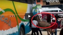 ¡Animales! Meten a burro a bodega de bus interprovincial (VIDEO)
