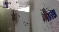 YouTube: Una rata y una araña se enfrentan y el final es inesperado [VIDEO]