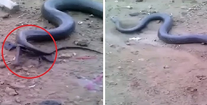 YouTube: anaconda pare 20 crías y causa impacto en la India (VIDEO)