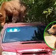 Tierno oso que intenta robar carro tiene un inesperado final (VIDEO)