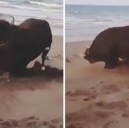 La curiosa reacción de un toro al estar por primera vez en la playa (VIDEO)