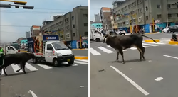 Toro se escapa y pierde el control en plena Av. Aviación (VIDEO)